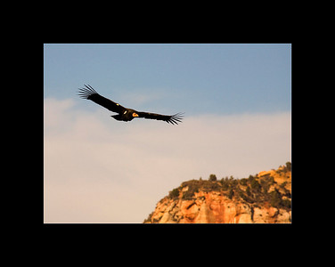 California Condor in flight, Angels Landing Trail, Zion National Park, UT