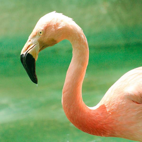 Pink Flamingo, Barcelona Zoo, Barcelona