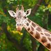 Giraffe, Barcelona Zoo, Barcelona