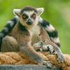 Lemur with intense eyes, Barcelona, Zoo
