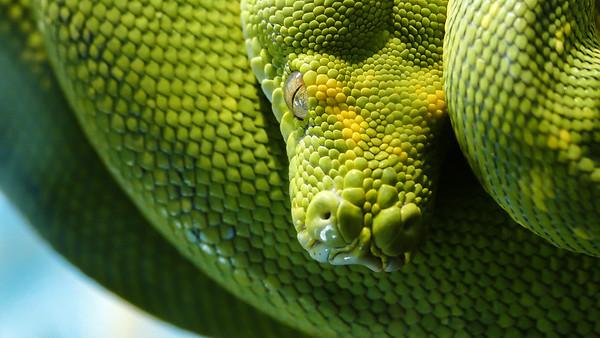 Green Snake, Brookfield Zoo
