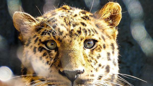 Cheetah, Brookfield Zoo, Brookfield, Illinois