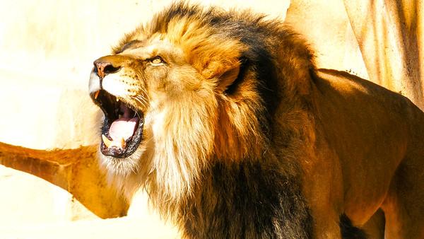 Lion Roaring, Brookfield Zoo, Brookfield, Illinois