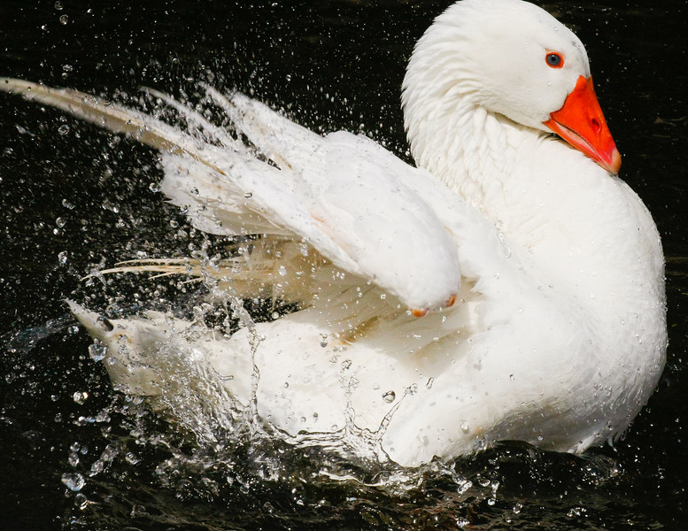 Swan Flapping Wings