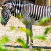 Zebra-Color and Black and White, Peoria, Zoo, Peoria, Illinois