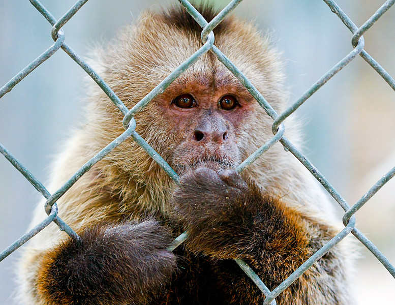 Caged Monkey, St. Maarten Zoo