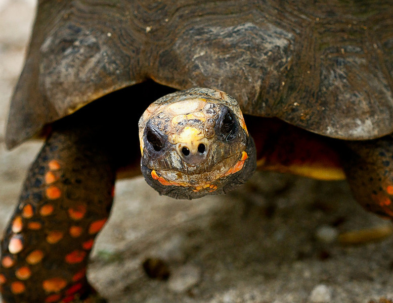 Tortoise, St Maarten Zoo