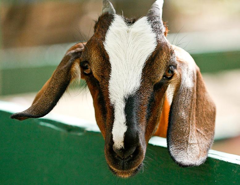 Goat, St. Maarten Zoo