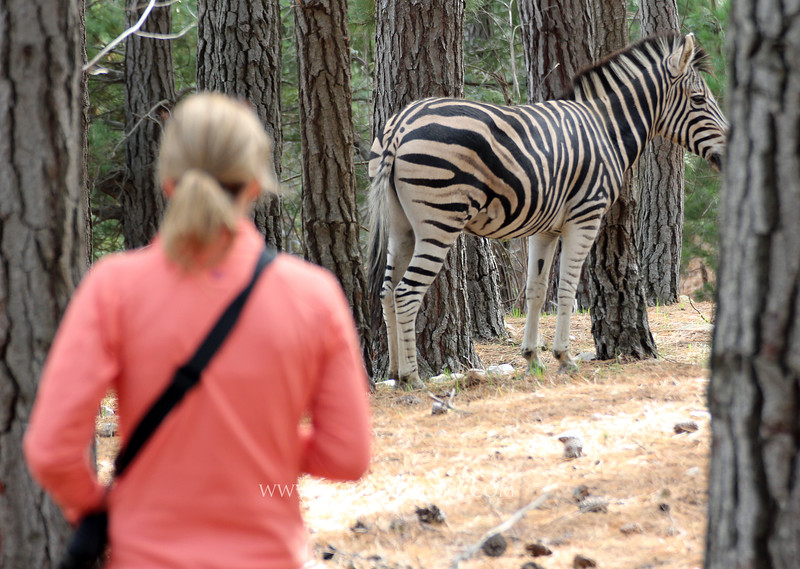 Hiking with zebras<br /> Franschhoek, South Africa