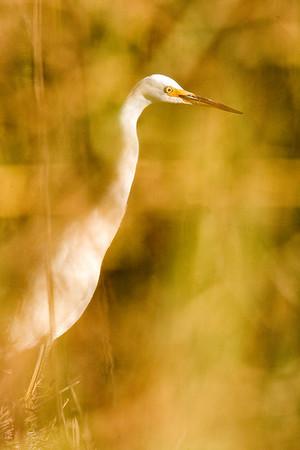 egret in reeds    F7A4449