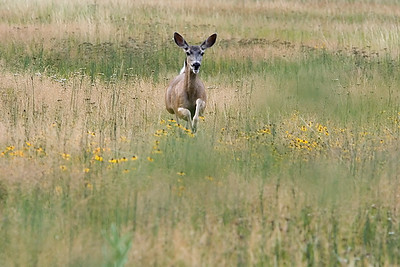 deer-jumping-yosemite967