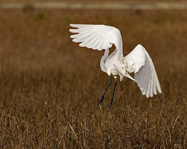 egret-butt, i mean tail-feathers63