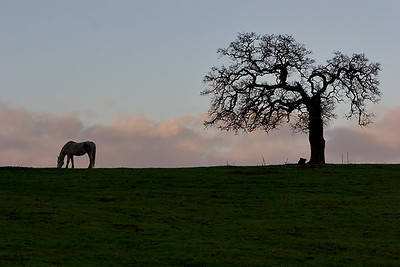 horse and oak tree5341
