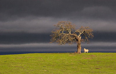 pony under oak5285