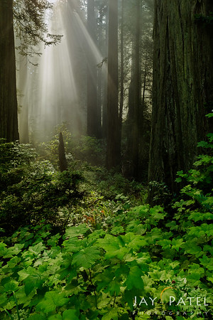 Redwood Forest National Park, California (CA), USA