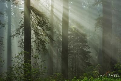 Redwood Forest National Park, California (CA), USA