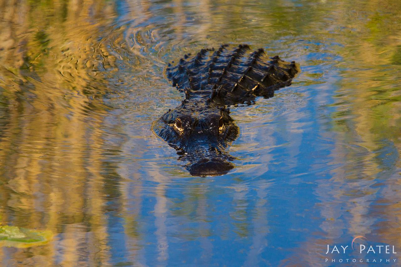 Anhinga Trail, Everglades National Park, Florida (FL), USA