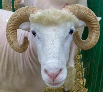 Sheep Symmetry