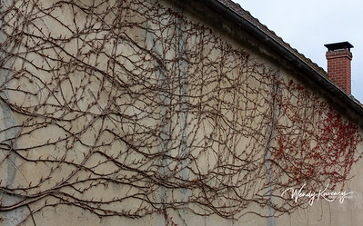 Europe, France, Giverny.  Wall covered in red vines.