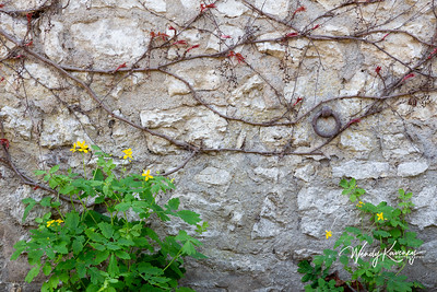 Europe, France, Giverny.  Vines on a stone wall.
