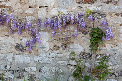 Europe, France, Giverny.  Wisteria growing against a stone wall.