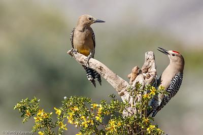 Gila Woodpecker Pair (Melanerpes uropygialis)