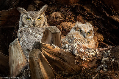 Great Horned Owl and Chick (Bubo virginianus)