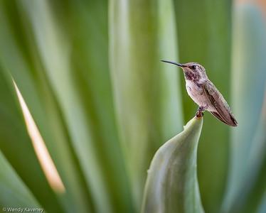 Costa's Hummingbird (Calypte costae)