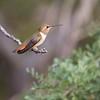 Rufus Hummingbird (Selaphorus rufus)