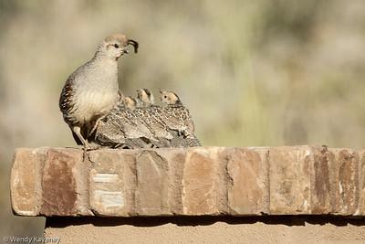 Gambel's Quail and Chicks (Callipepla gambelli)