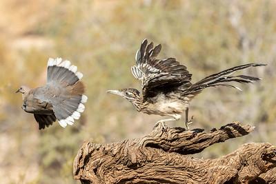 Greater Roadrunner (Geococcyx californianus) and White-winged Dove (Zenaida asiatica)