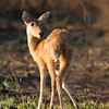 Reedbuck and Fly