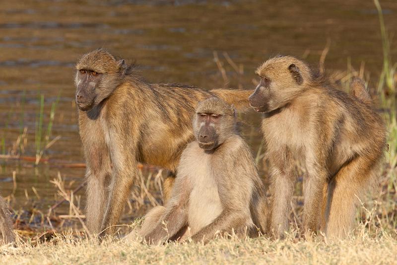 Three Baboons