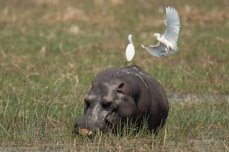 Hippo and Cattle Egrets