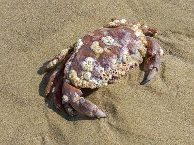 Barnacle Covered Crab
