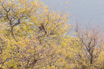How to Hide a Giraffe {Giraffa camelopardalis}
