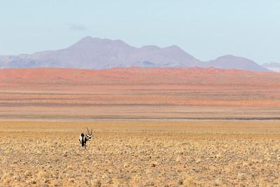 Lone Oryx (Oryx gazella)
