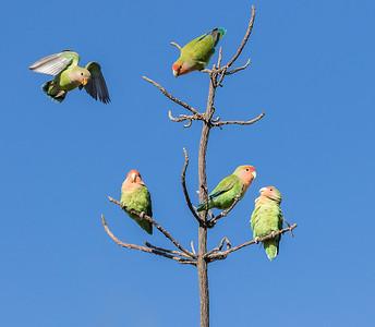 Rosy Faced Love-Birds. (Agapornis roseicollis)