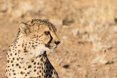 Cheetah Profile   (Acinonyx jubatus)