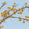Camelthorn Blossoms