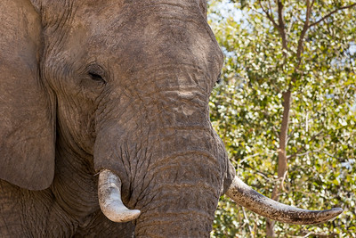 Up Close and Personal (Loxodonta africana)
