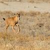 Oryx Calf (Oryx gazella)