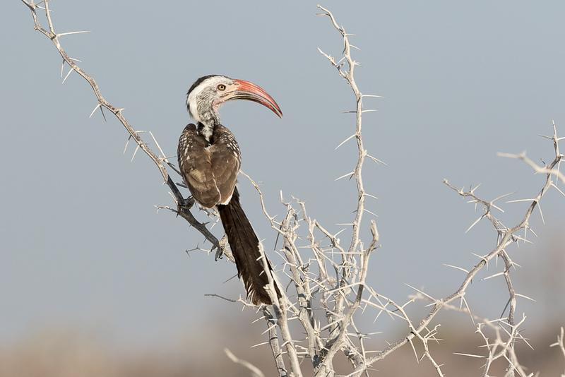 Hornbill and Thorns