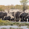 Drinking Elephants  {Loxodonta africana}