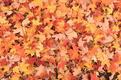Autumn leaves rocking the grond...  #autumn #autumnleaves #mapleleaves #canada