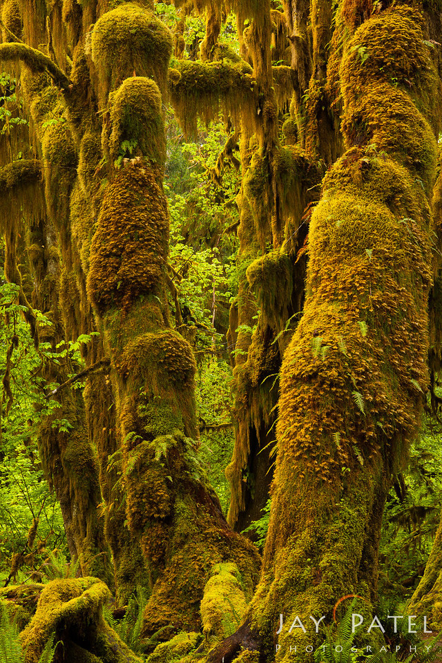 Hoh Rainforest, Olympic National Park, Washington (WA), USA