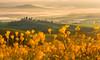 Tuscan Mimosa