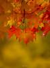 Backlit Maple Leaves