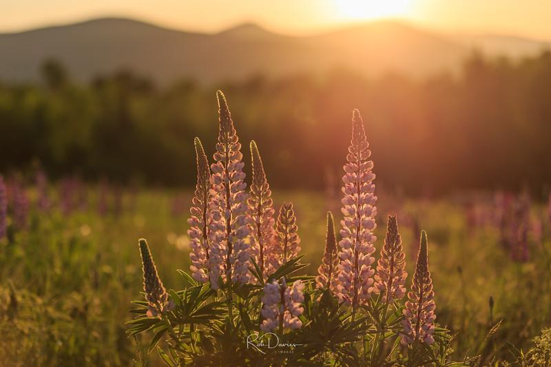 Lupines at Sunrise