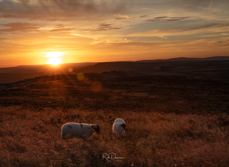 Stanage Sheep